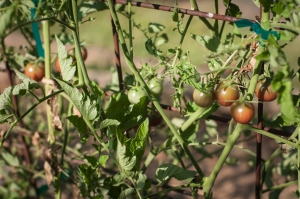 Tomatoes growing in London, Arkansas. Photo by Saira Khan for McElroy House.